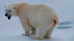 Bear on Northpole (MaartenPictures) Tags: bear white animal polarbear wildanimal artic northpole