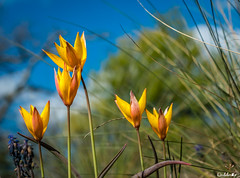 Tulipes sauvages (diabolomint) Tags: macro nature fleur bleu ciel printemps tulipe