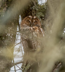 Tawny (Stephen Childs) Tags: leightonmoss