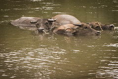 Carabao Cooling down (puretuts) Tags: del river steam bison norte mindanao carabao lanao