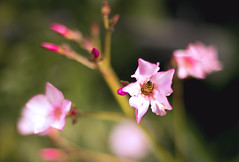 Collector (bkiwik) Tags: newzealand plant flower nature fauna garden insect flora bees bee honey nz oleander