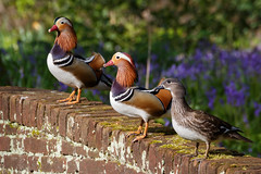 Mandarijntjes (loddeur) Tags: park wild bird duck escape denhaag exotic mandarin fowl colourful eend vogel multicolour asiatic aixgalericulata freeflying exoot sorghvliet tamron70300vc