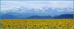 Les champs de colza (raym5) Tags: jaune champs printemps montagnes massif colza massifdusancy champsdecolza printemps2016