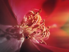 Stamens for days (smithnik477) Tags: light red flower macro nature rose closeup stamen gradient macrophotography iphone6s
