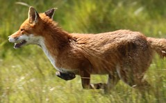 Red Fox ........................ Making his escape (GrahamParryWildlife) Tags: new uk red people orange brown sunlight public up field animal sport yellow landscape mammal this photo kent flickr escape close you outdoor getaway sigma running tags run any follow add fox 7d mk2 dungeness info member viewing depth leaping commenting vixen additional rspb 150600 grahamparrywildlife