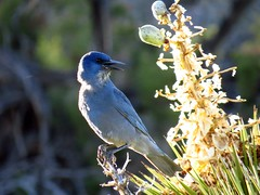 pinyon jay-joshua tree (1) (gskipperii) Tags: california bird animal fauna nationalpark colorful pretty wildlife gorgeous joshuatree sharp highdesert southerncalifornia creature blackrockcanyon