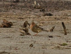 Red-throated Pipit (tombenson76) Tags: bigbear redthroatedpipit anthuscervinus