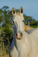 _DSC8748 (Izaias Lus) Tags: brasil caballos photography photographie cavalos equestrian equine nordeste chevaux equino haras equestre garanhunspe