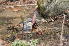 Madame cardinal au bain-16.jpg (Sylvain Bdard) Tags: montral cardinal animaux oiseau lieux jardinbotaniquedemontral