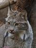 DO060142 (2) (talbot_dominique) Tags: animaux lynx biodôme omdem5