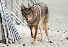 Coyote at Sandy Hook - 4 (RGL_Photography) Tags: coyote us newjersey highlands unitedstates wildlife monmouthcounty jerseyshore sandyhook canid wildlifephotography canislatrans gatewaynationalrecreationarea spermaceticove coywolf nikond610 tamronsp150600mmf563divcusd