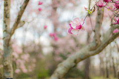 Daydreaming About Spring (Elizabeth_211) Tags: pink flowers nature 50mm spring bokeh tennessee magnolia botanicalgardens memphistn westtn sherielizabeth