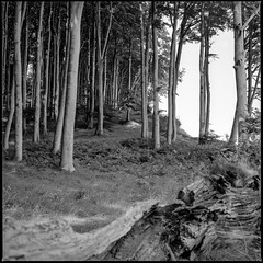 magic beech01 (my analog journey) Tags: germany deutschland hc110 balticsea ostsee mov 500cm kodaktmax100 homedeveloped inselrügen kodakhc110 jasmundnationalpark 082015 developer:brand=kodak developer:name=kodakhc110 planar2880cft ©bymikemov h16320c12m steilküstenweg filmdev:recipe=10557