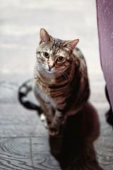 Portrait of a Lady (ganagafoto) Tags: cats animals portraits viola ritratti gatti animali ganagafoto