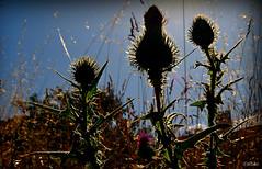 Polticos emergentes (Franco DAlbao) Tags: plant planta backlight contraluz dof politicians thorns botnica botanics thistles polticos espinas cardos nikond60 dalbao francodalbao