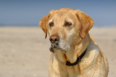 Sandmaus (uwe.kast) Tags: dog denmark nikon labrador dk labradorretriever nordsee nikon1 nikonone nikon1v1 labradorredriver