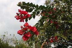 IMG_1294.CR2 (dernst) Tags: trinitarias bougainvilleas