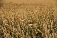 Texture (M A R I A N A C O R E S) Tags: landscape plantas paisaje amarillo campo airelibre hierva