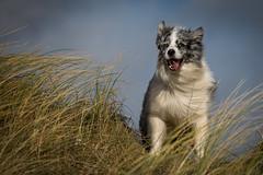 A break from the rain! (redshift1960) Tags: dog canon duke bordercollie sandhills bluemerle 70mm200mm 5dmk3