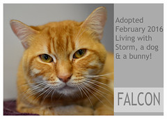 Falcon-Adopted (Ali Crehan) Tags: cat february shelter adopted 2016