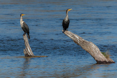 Beautiful Winter Morning (blueslk) Tags: california wild bird nature water birds river outdoors freedom outdoor wildlife cormorant americanriver americanriverparkway