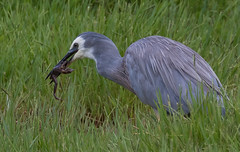 white-faced heron (Egretta novaehollandiae)-6637 (rawshorty) Tags: birds australia canberra act rawshorty