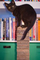 IMG_3132 (BalthasarLeopold) Tags: pet cats pets animal animals cat blackcat mammal kitten feline dof kittens felines blackcats indoorcat dephtoffield scratchpost
