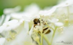 Bon appetit little bee (Sren Klempert) Tags: plant macro nature essen nikon eating natur pflanze blumen bee makro blte biene nikond7000 nikkor40mm