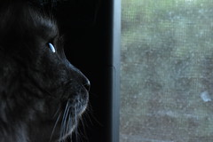 Cat thoughts (mostaphaghaziri) Tags: black window cat out nikon looking d smoke siberian 7200 d7200