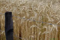 MASSIF DU PILAT (BPBP42) Tags: nature fence wheat epi barriere ble