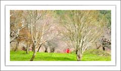 F_DSC2237-1-Nikon D300S-Nikkor 28-300mm-May Lee  (May-margy) Tags: park flowers portrait blur bokeh taiwan cherryblossom    multiexposure    wulingfarm       taichungcity  thefirstdayofspring repofchina nikond300s maymargy nikkor28300mm maylee  mylensandmyimagination streetviewphotographytaiwan  naturalcoincidencethrumylens linesformandlightandshadows  fdsc22371