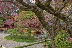 Umenomiya Taisha (梅宮大社) In Kyoto During Baikasai! (KyotoDreamTrips) Tags: kyoto ume plumblossoms baikasai 梅宮大社 梅花祭 umenomiyataisha