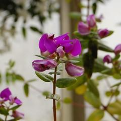 Polygala fruticosa (longk48) Tags: oxfordbotanicgardens polygala fruticosa
