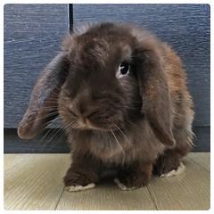 (Danburg Murmur) Tags: rabbit bunny thailand bangkok conejo bella  lapin hase  kanin krungthepmahanakhon zec    iepure prathetthai  kingdomofthailand