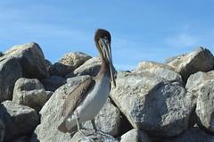 Juvenile Brown Pelican (Pelecanus occidentalis) DDZ_5688 (NDomer73) Tags: bird december pelican best juvenile better brownpelican elkhornslough 2015 17december2015
