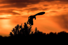 Short eared owl with vole at sunset (btcarr1970) Tags: sunset beautiful canon dusk longislandny raptor owl birdsinflight hunter tamron majestic birdsofprey bif calverton suffolkcounty shortearedowl canon7dmarkii tamronsp150600mmf563divcusd