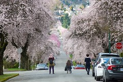 Vancouver streets are busy with photographers taking pictures of blooming cherry blossoms. 📷🌸 (Spencer Finlay) Tags: