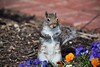 Flower Child (gtncats) Tags: nature animal outside squirrel outdoor explore pansies potofgold ef70300mm canon70d photographyforrecreation frameitlevel01 frameitlevel02 infiniteexposure