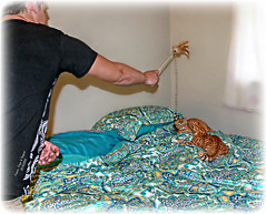 Frazier, Freja & Ragnar, 9/15/15 (Chris C. Crowley) Tags: cats pets man animals play kittens felines teasertoy frazierfrejaranar91515 mynephewplayswiththenewkittens