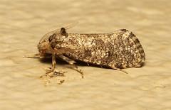 Lepidoptera (Moth sp.) - South Africa (Nick Dean1) Tags: insect southafrica moth insects lepidoptera arthropods arthropoda krugernationalpark arthropod hexapod insecta lowersabie hexapods hexapoda