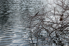 ripples. (sarahlcraven) Tags: nikon lilypond youngstown millcreekpark d3200