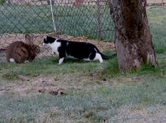 Claudias neue Freundschaft (ute_hartmann) Tags: cat claudia katze kaninchen spaziergang