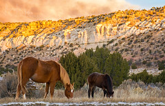 Morning Munch (BoneFishPhotography) Tags: morning travel light wild sky horses terrain sun mountain snow mountains newmexico southwest nature beautiful field animal clouds sunrise landscape outside photography early amazing nikon rocks butte view desert outdoor wildlife scenic peaceful roadtrip adventure explore observe serene awake nm gallup tranquil mesa wildhorses firstlight bonefishphotography
