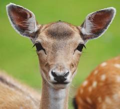 biche (Carahiah) Tags: yeux regard biche oreilles cils
