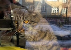Prague (118) (Silvia Inacio) Tags: cat prague tabby praha praga gatos gata czechrepublic repblicacheca matylda catscafe kavrnakoi