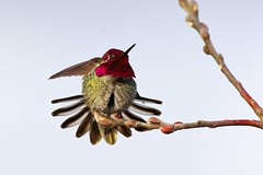 Humming flower (2) (Adam Wang) Tags: pink bird nature wildlife iridescent annas