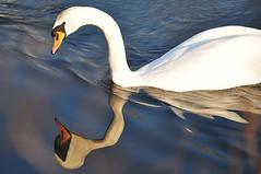 'sto specchio mi ingrassa. (LucaBertolotti) Tags: italy reflection nature water animals reflections river mirror swan italia fiume natura swans lombardia animali serio cigni cigno sergnano cignireali fiumeserio casalecremasco