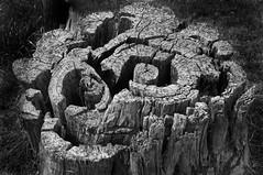 stump (tree-razzo) Tags: bw patterns stump