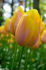 Keukenhof (Explored) (l-vandervegt) Tags: flower holland netherlands yellow nikon nederland tulip geel bloemen niederlande keukenhof tulp lisse 2015 d3200 paybas