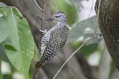 Nubian Woodpecker (rdunn162) Tags: woodpecker ethiopia nubian 2016